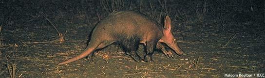 nocturnal aardvark